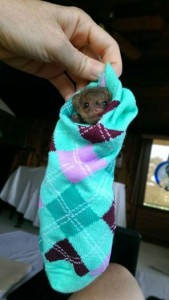 gus in a sock